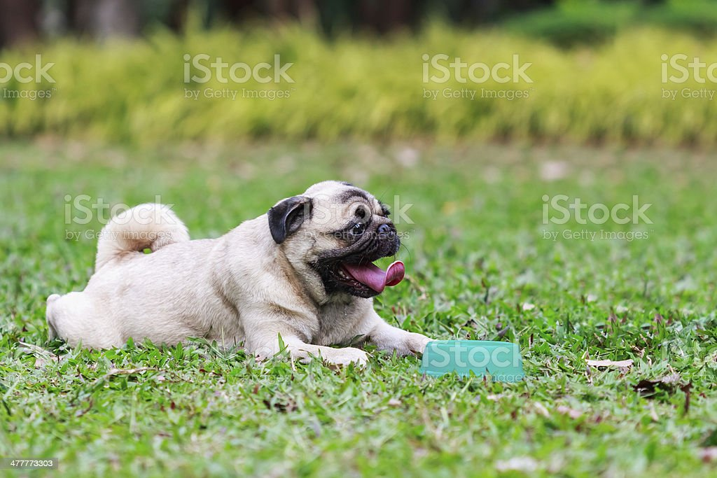 Pug dog royalty-free stock photo