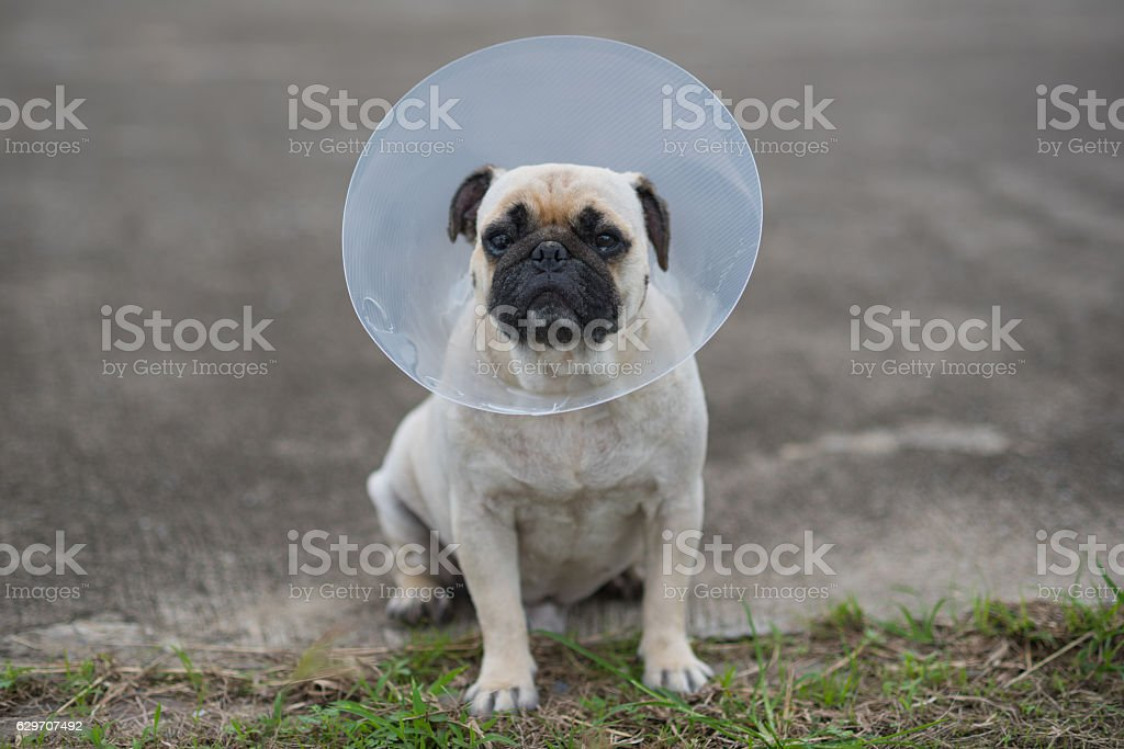 Pug dog while wearing Elizabethan collar stock photo