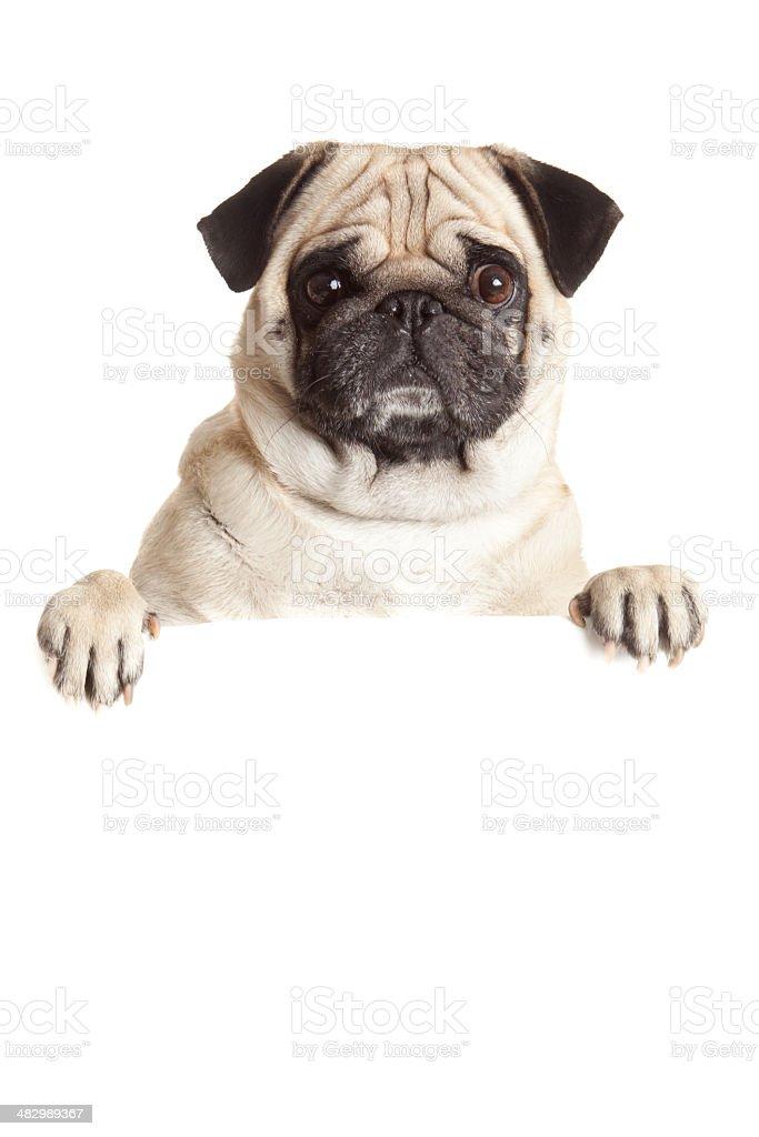 Pug Dog  with blank billboard. stock photo