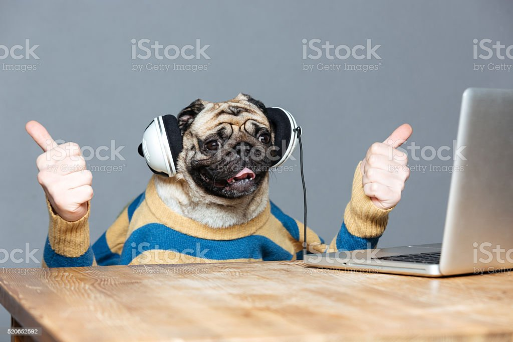 Pug dog with man hands in headphones showing thumbs up stock photo