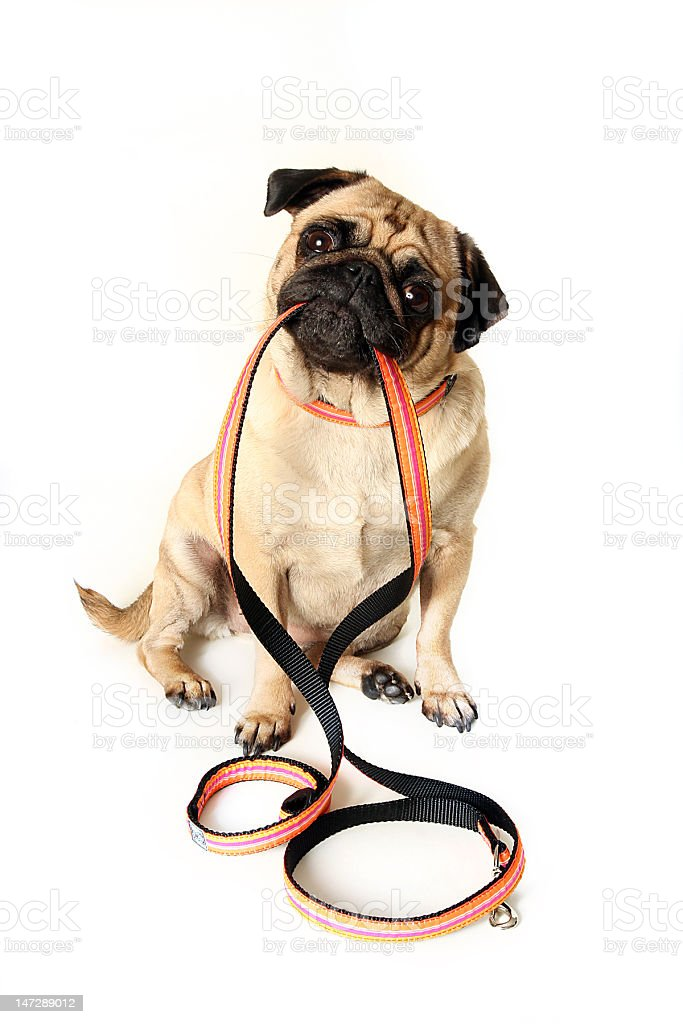 Pug doggie sitting down with orange leash in his mouth stock photo