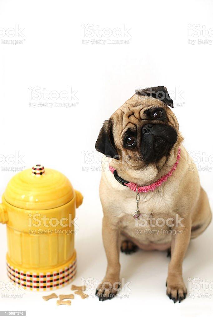 Pug & Fire Hydrant royalty-free stock photo