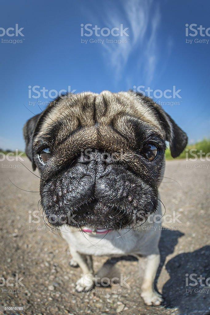 Pug in closeup stock photo
