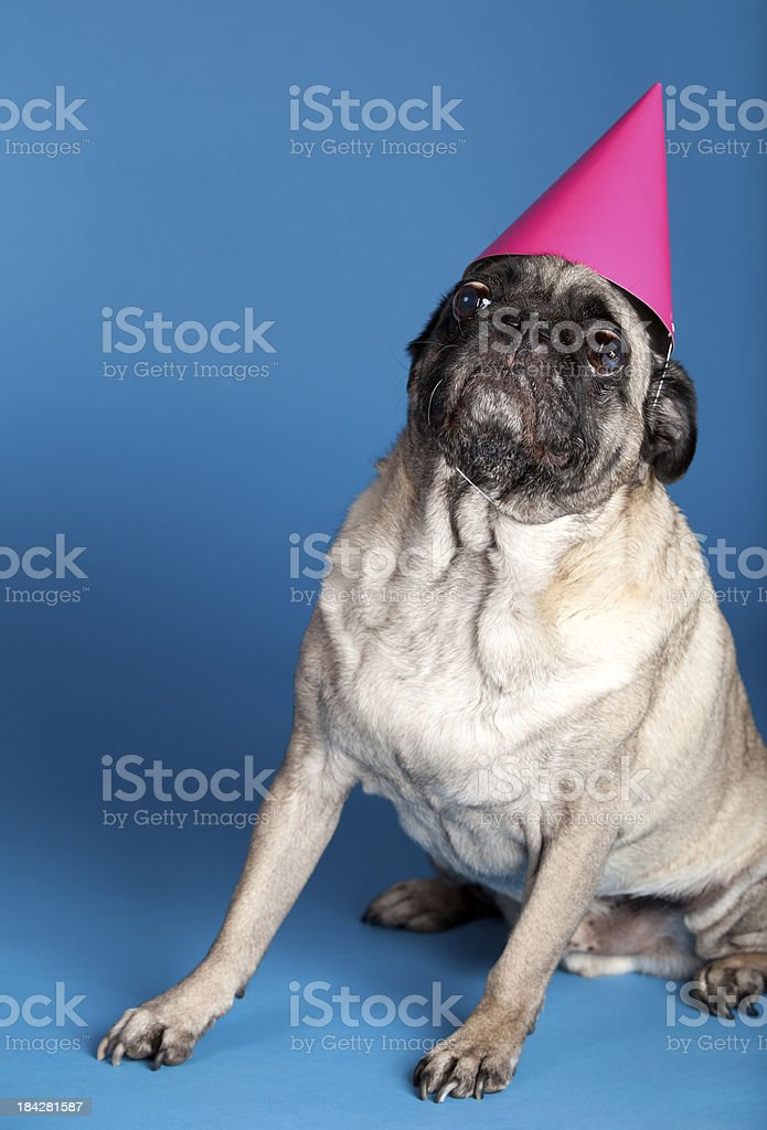 pug in pink party hat royalty-free stock photo