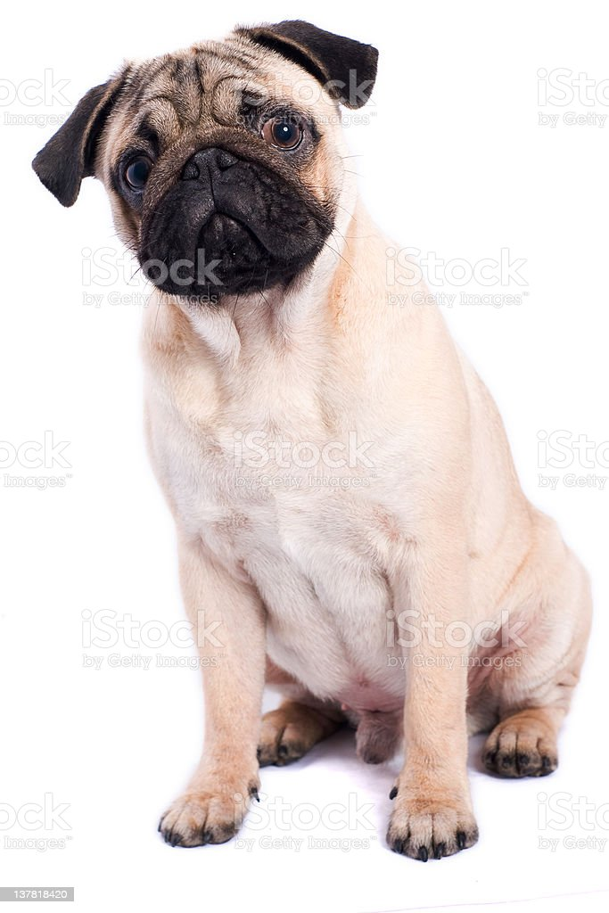 Pug isolated on white background royalty-free stock photo
