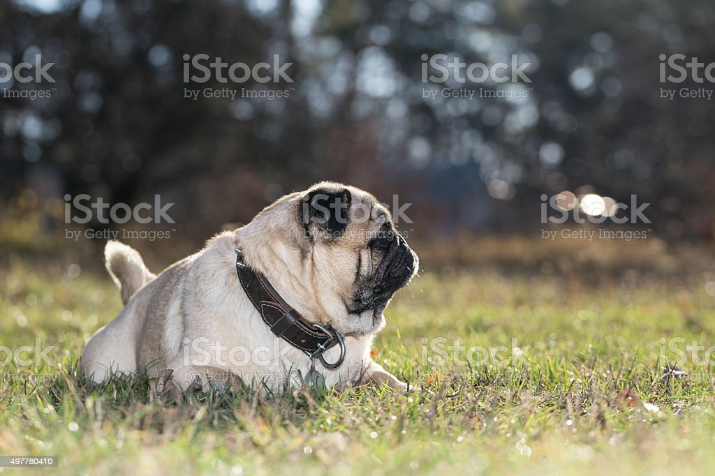 Pug lies on green grass in the park. stock photo