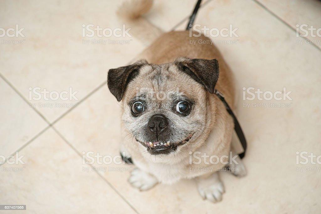 Pug, looking at camera upwards stock photo