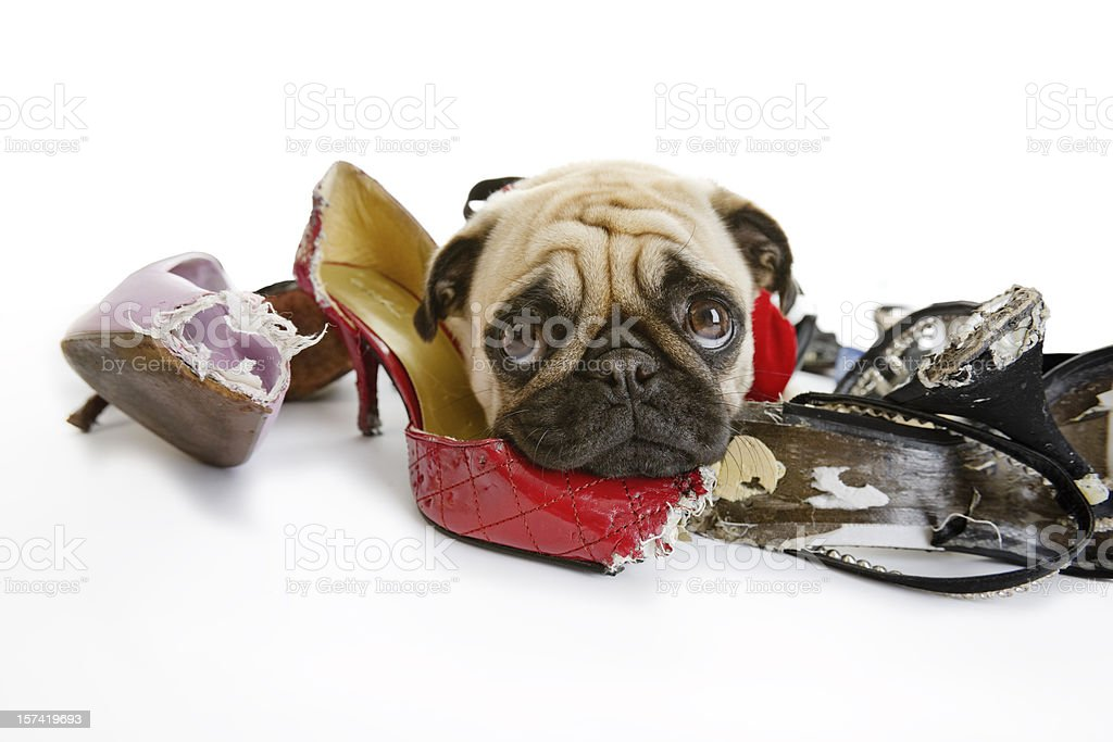 Pug Looks Sad after Chewing on Dress Shoes royalty-free stock photo