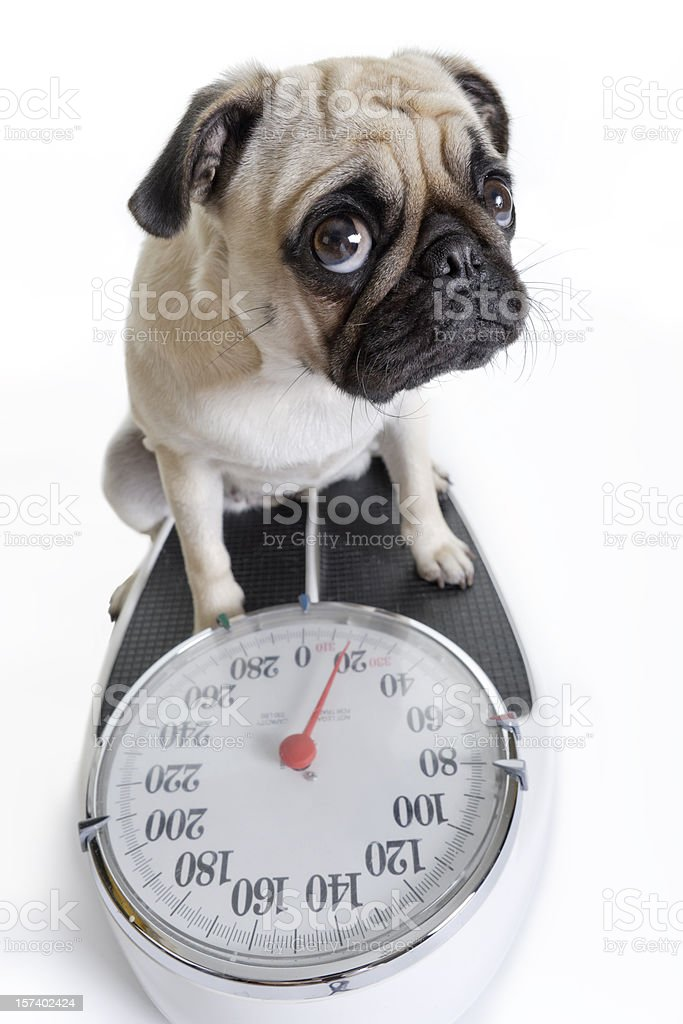 Pug Looks Up as She Weighs Herself on Weight Scale stock photo