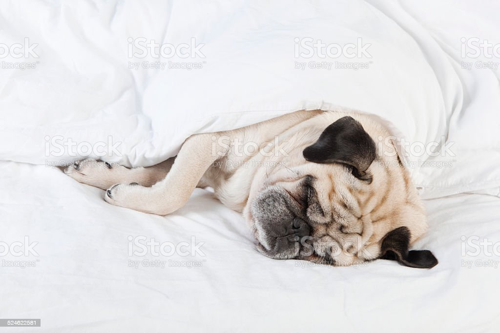 Pug lying in bed stock photo