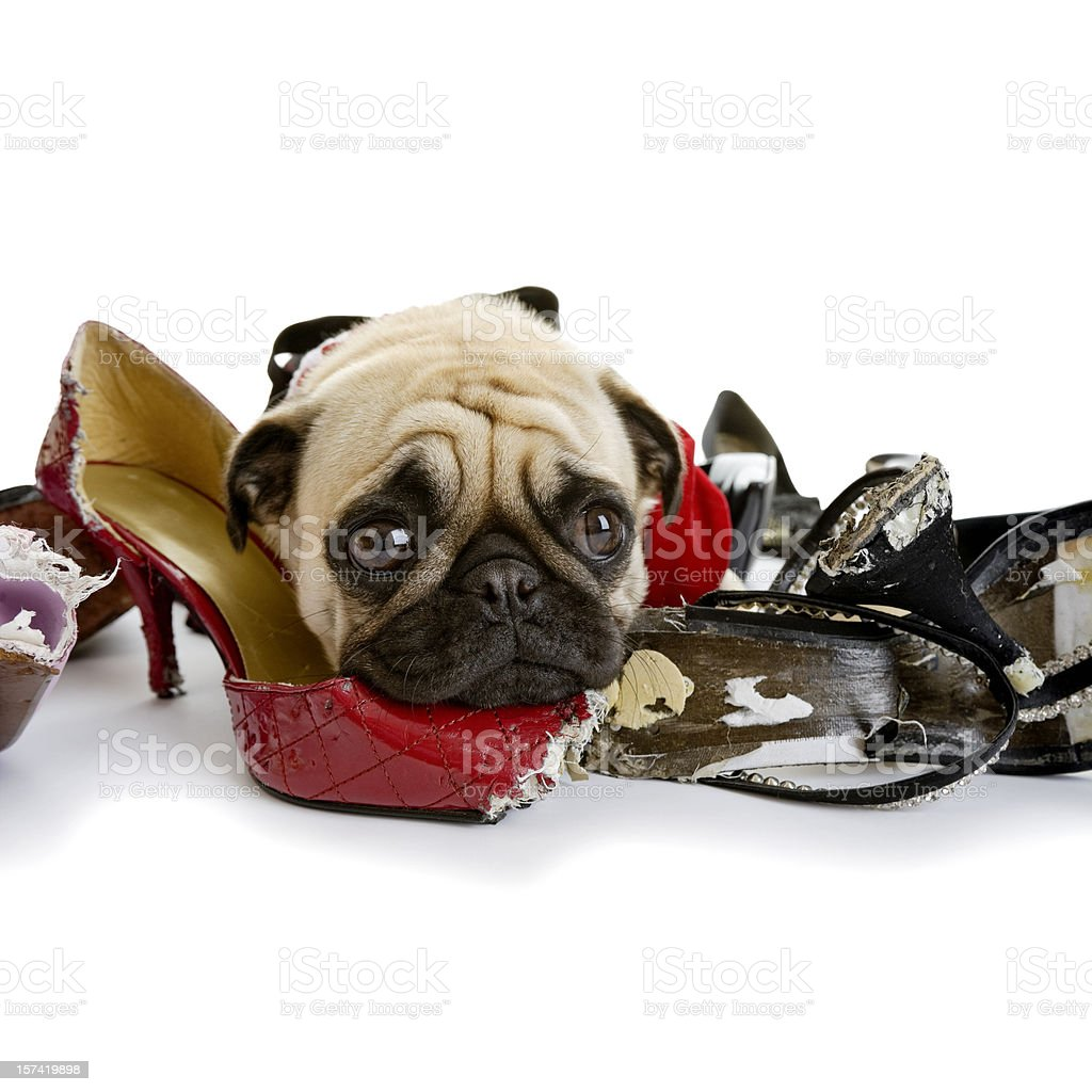 Pug Lying on Collection of Dress Shoes that Are Chewed stock photo