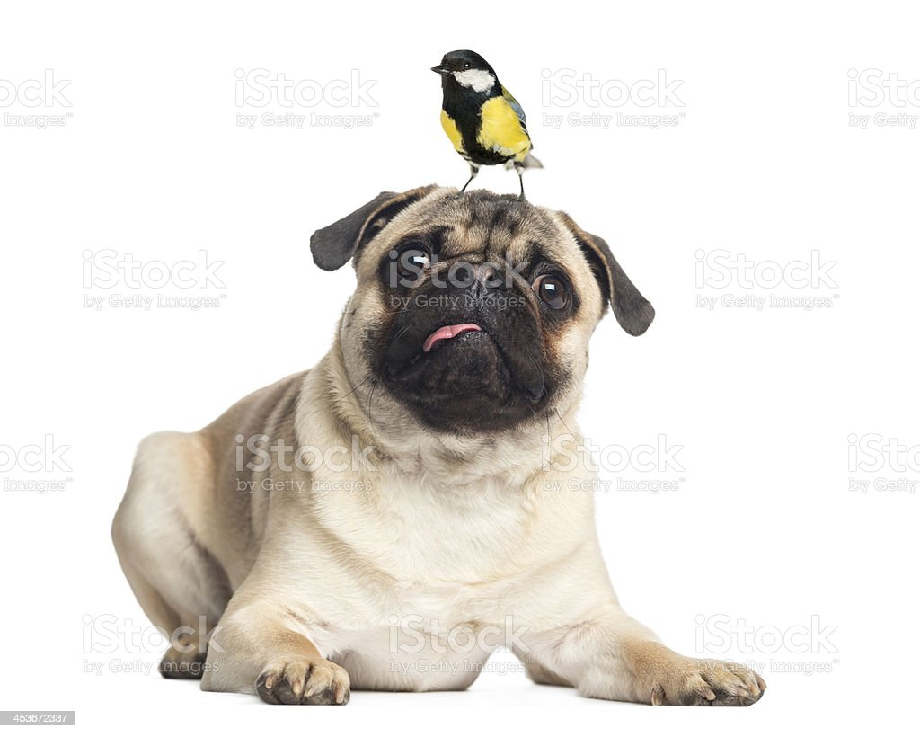 Pug, lying with a great tit on the head, isolated royalty-free stock photo