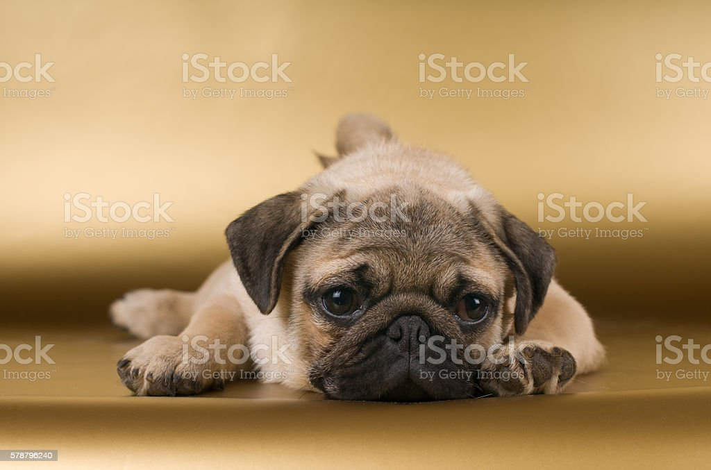 Pug on golden background stock photo