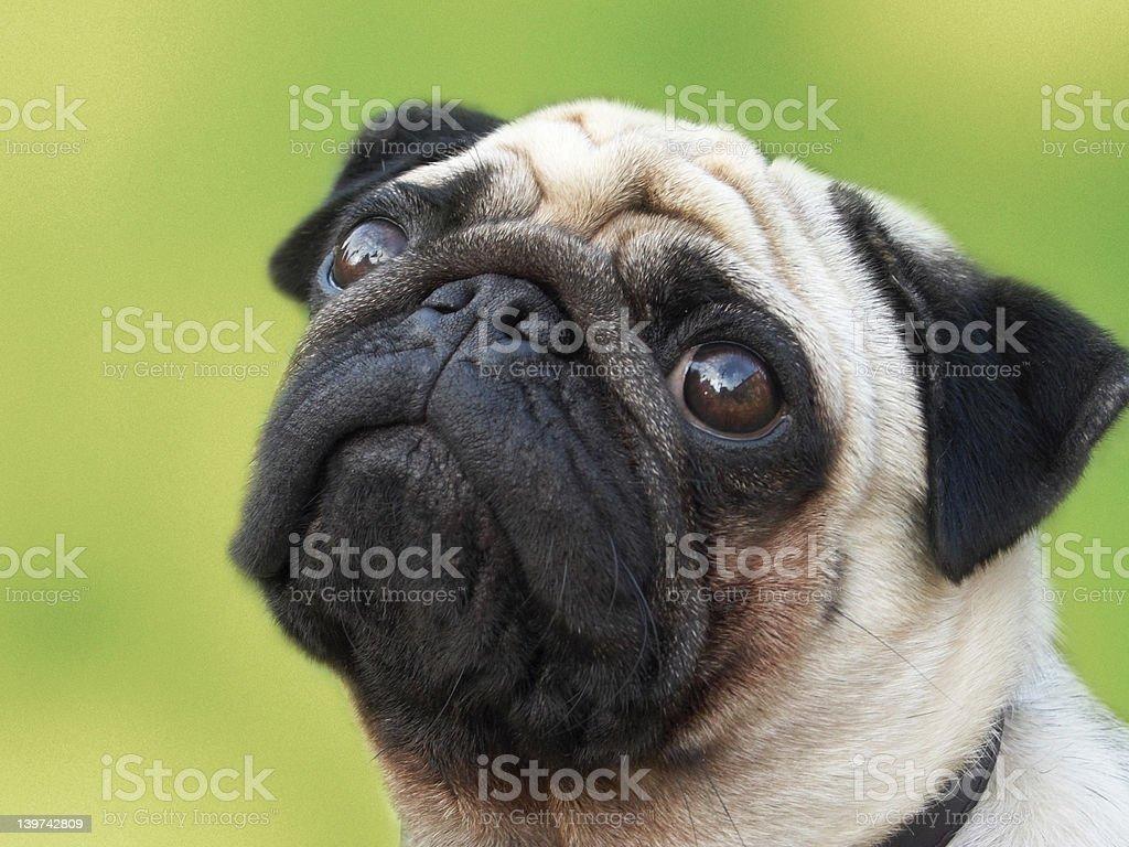 Pug on green background stock photo
