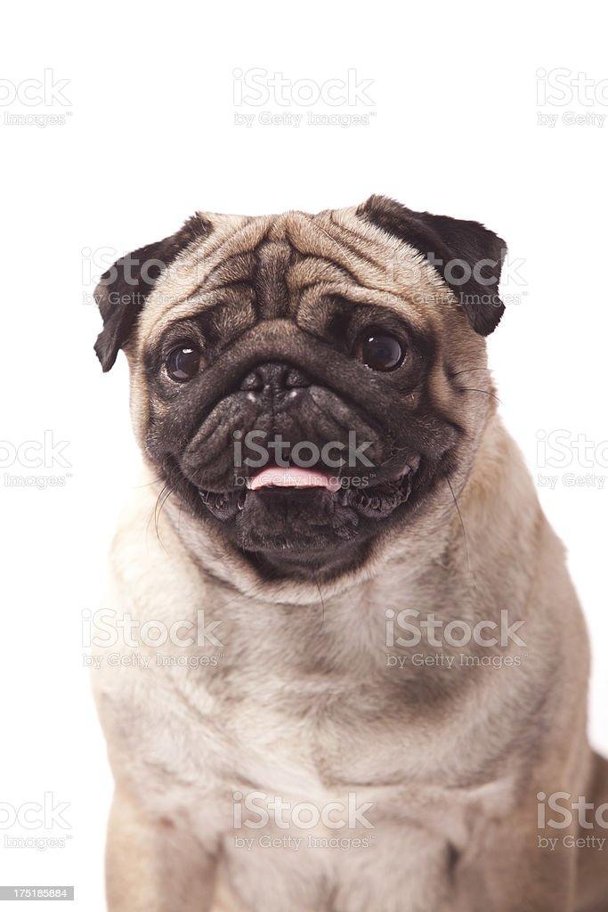 Pug royalty-free stock photo