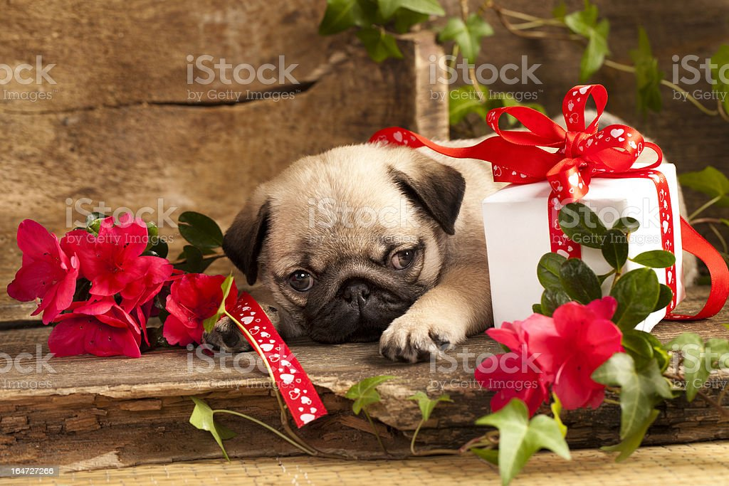 pug puppies and flowers royalty-free stock photo