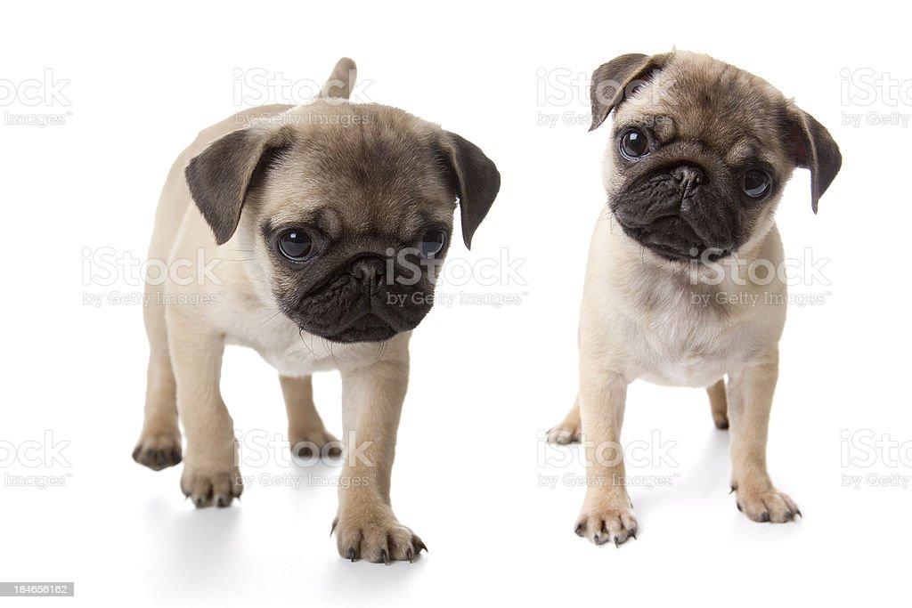 Pug puppies on white background stock photo