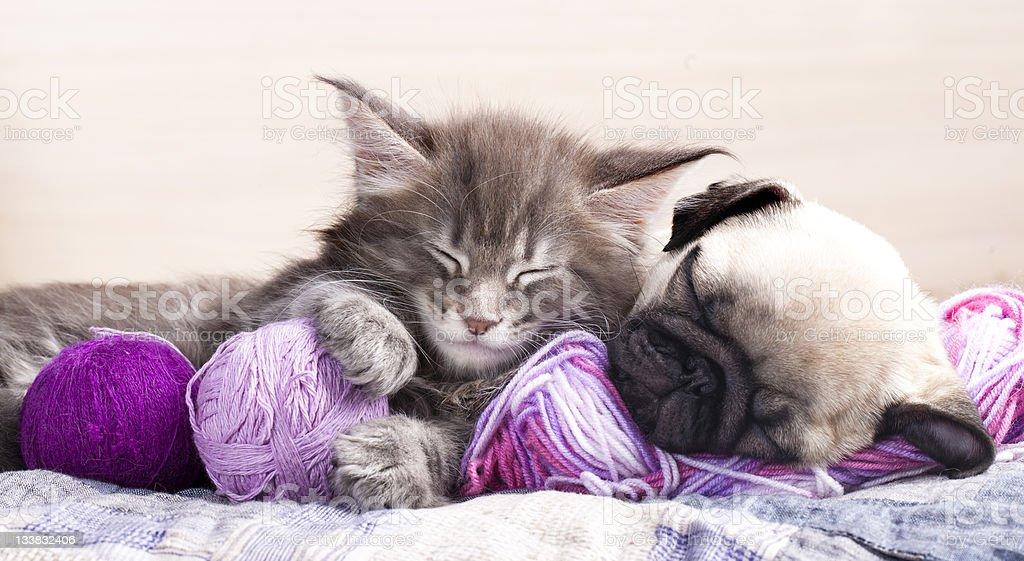 Pug puppy and Maine coon kitten sleeping stock photo