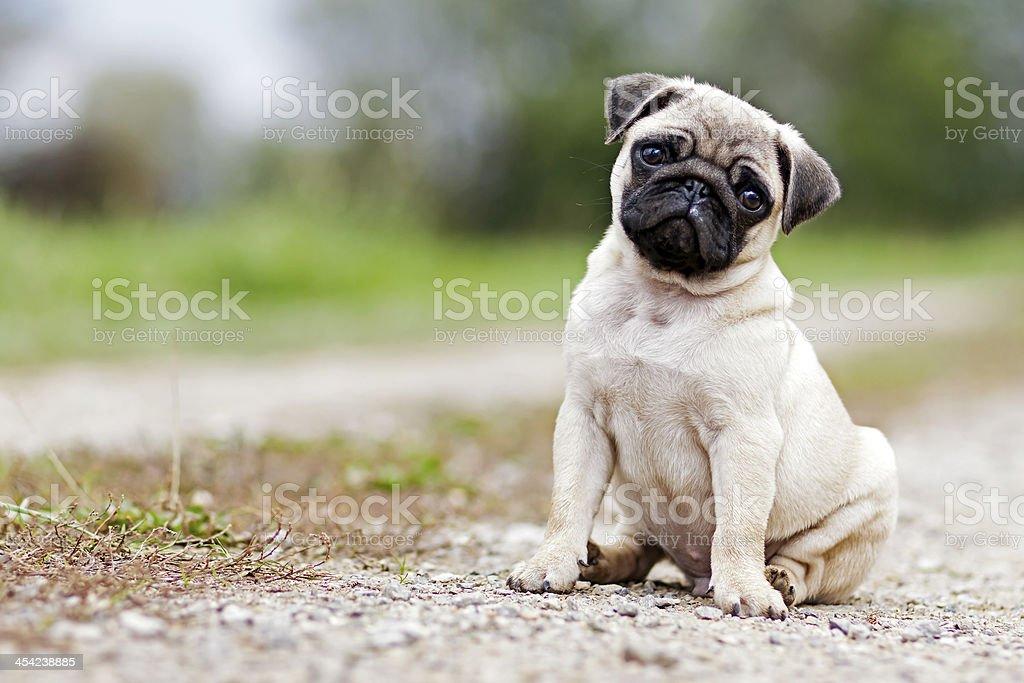 Pug Puppy Dog stock photo