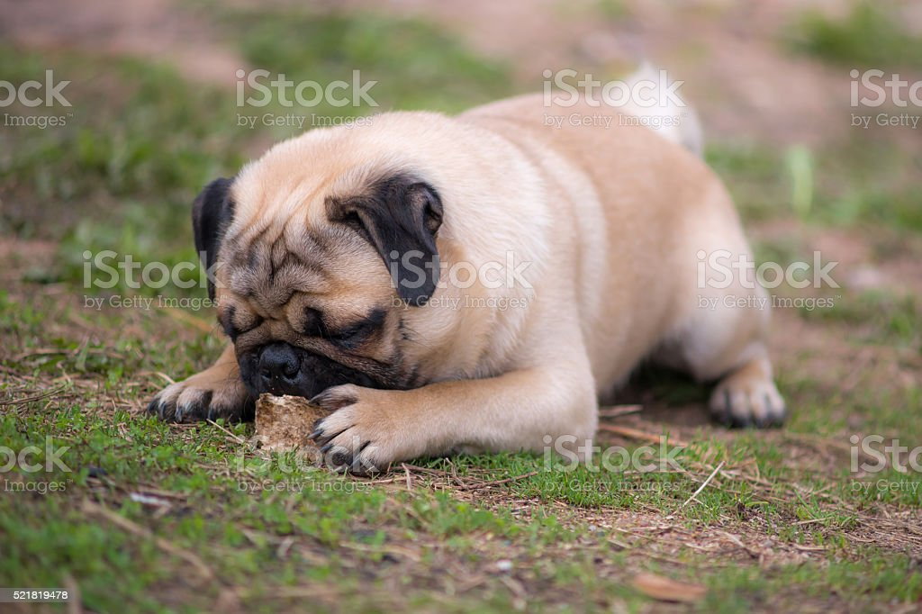 Pug puppy gnaws a bone stock photo