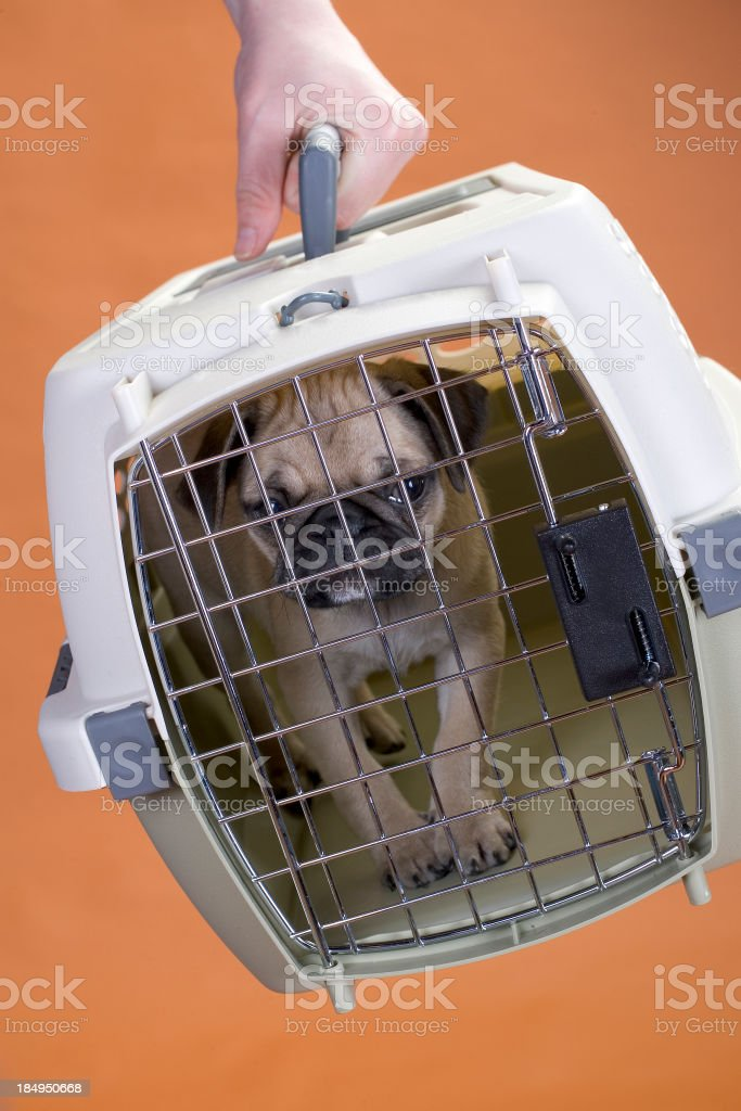 Pug puppy in a crate royalty-free stock photo