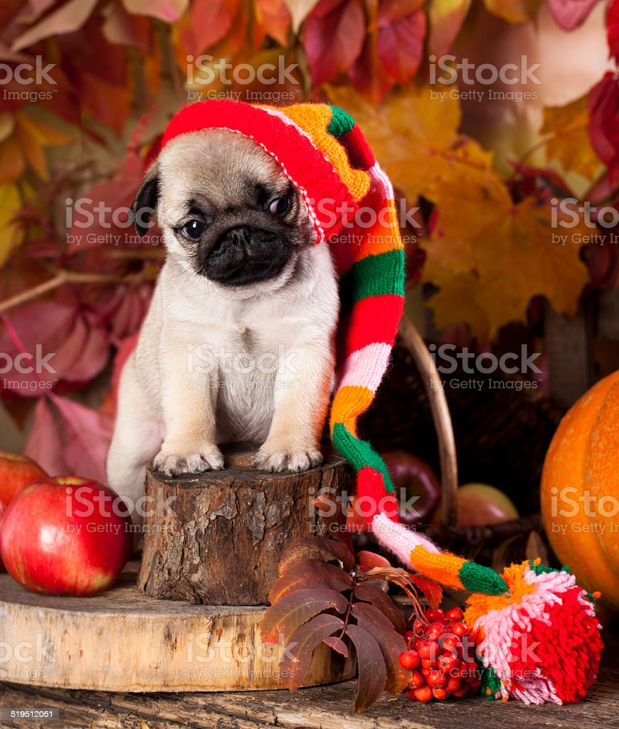 pug puppy in hat stock photo