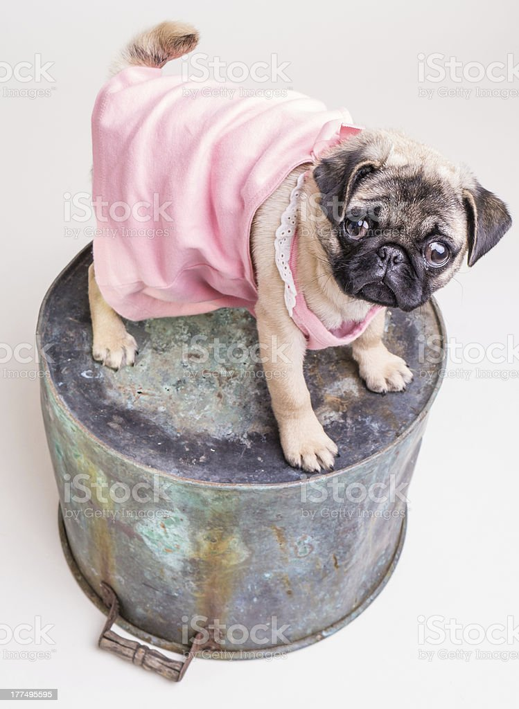 Pug Puppy in Pink Dress stock photo
