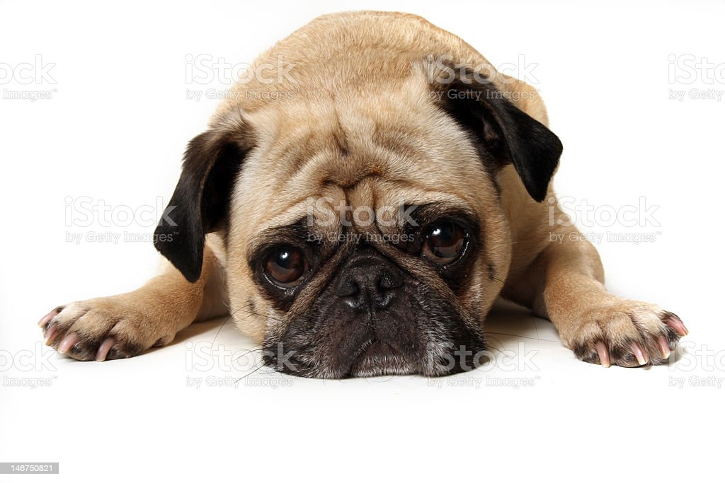 Pug puppy laying down with a sad face stock photo