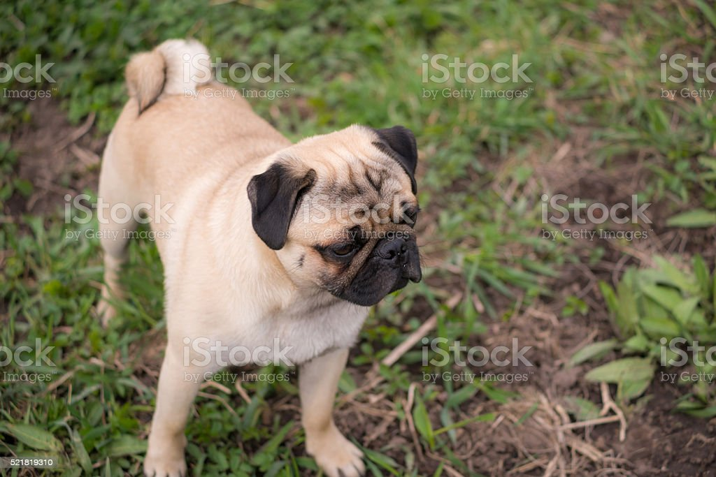 Pug puppy looking straight forward stock photo