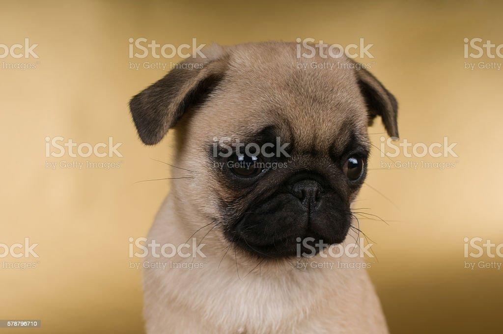 Pug puppy on golden background stock photo