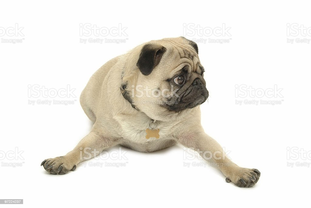 Pug resting royalty-free stock photo