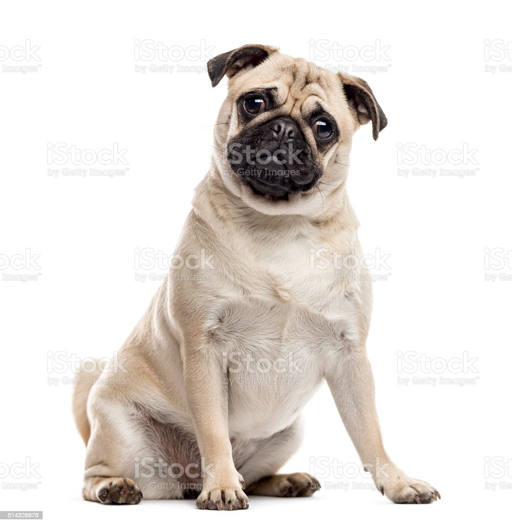 Pug sitting and looking at the camera, isolated on white stock photo