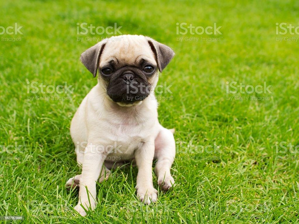 Pug sitting down on grass field stock photo