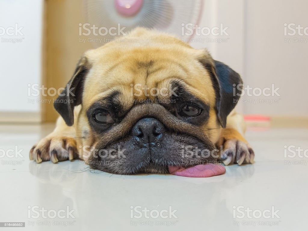 Pug sleep by chin and tongue lay on Floor royalty-free stock photo