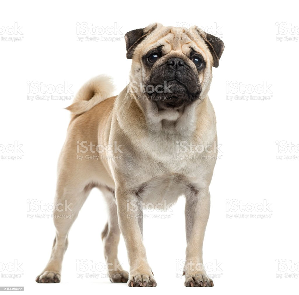 Pug standing in front of a white background stock photo