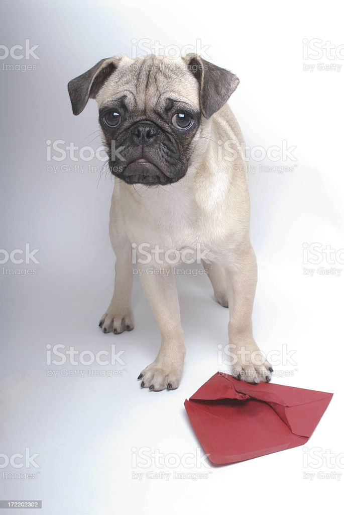 Pug Valentine royalty-free stock photo