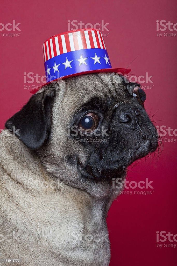 pug wearing American hat (XL) royalty-free stock photo