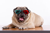 Pug  with glasses, on white, looking at camera, mouth open
