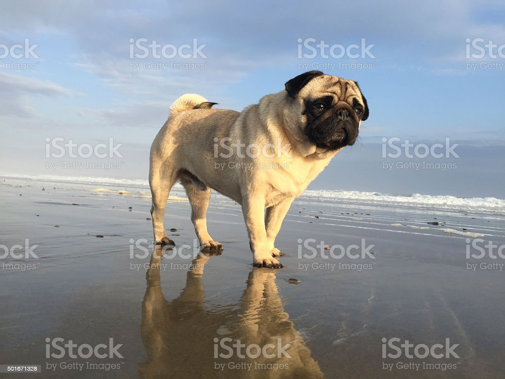 pug with reflection stock photo