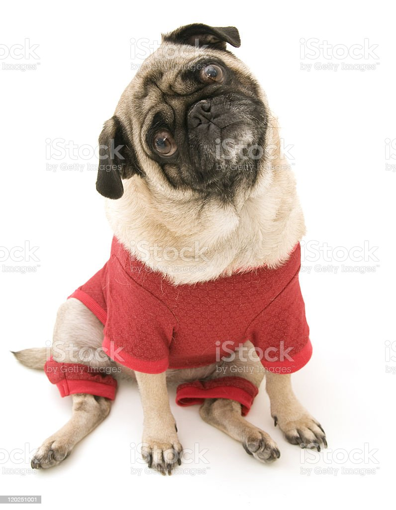 Pug with Tilted Head royalty-free stock photo