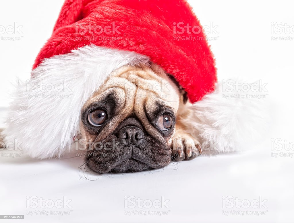 Puk Pukster the Pug Waiting for Santa stock photo