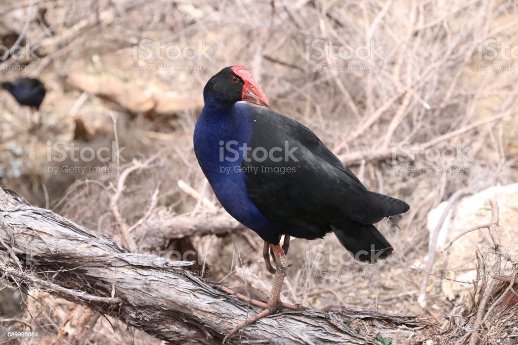 Pukeko, crazy bird. New Zealand. stock photo