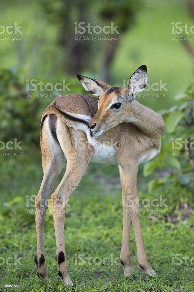 Puku deer in the wild on Safari royalty-free stock photo