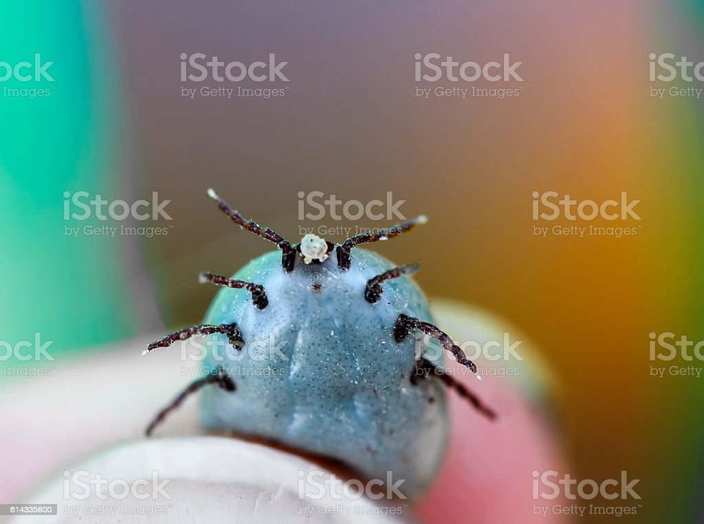 pulled a tick bloated from the blood stock photo