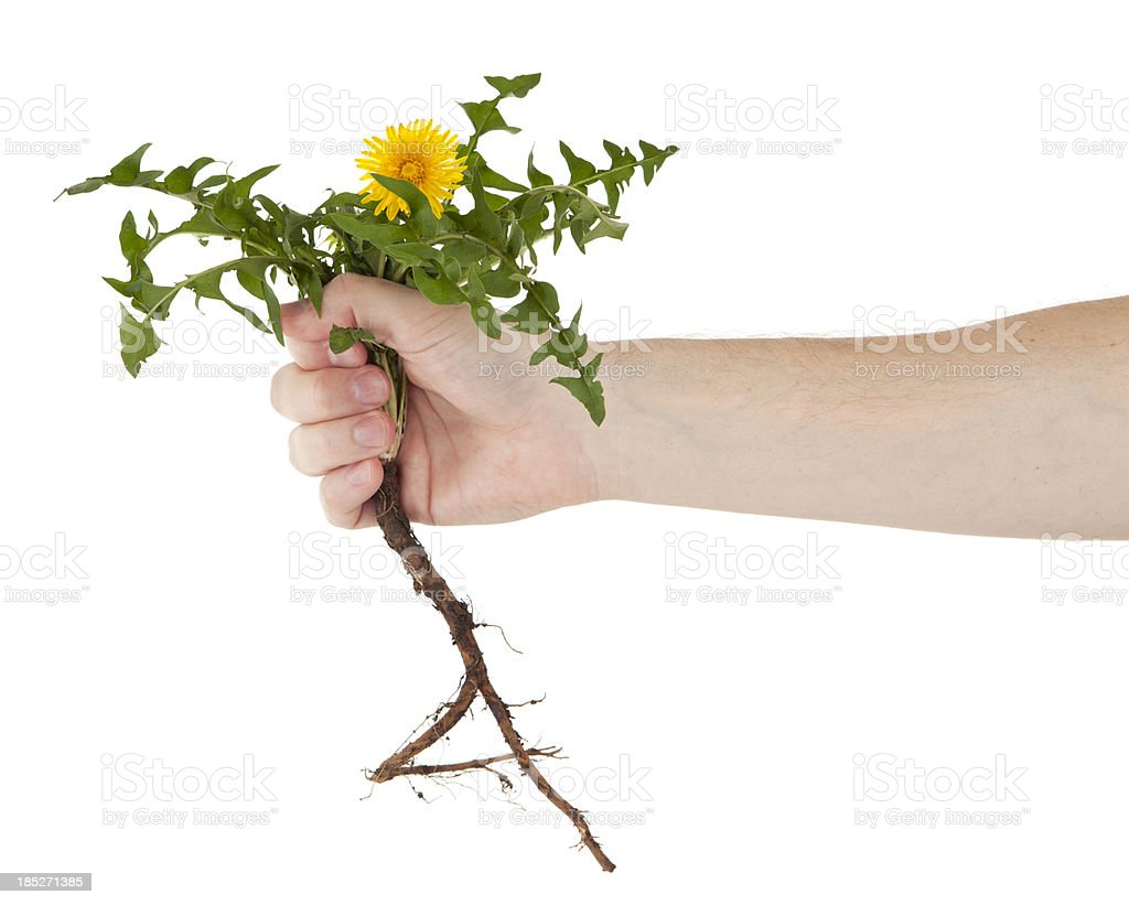 Pulling a Dandelion stock photo