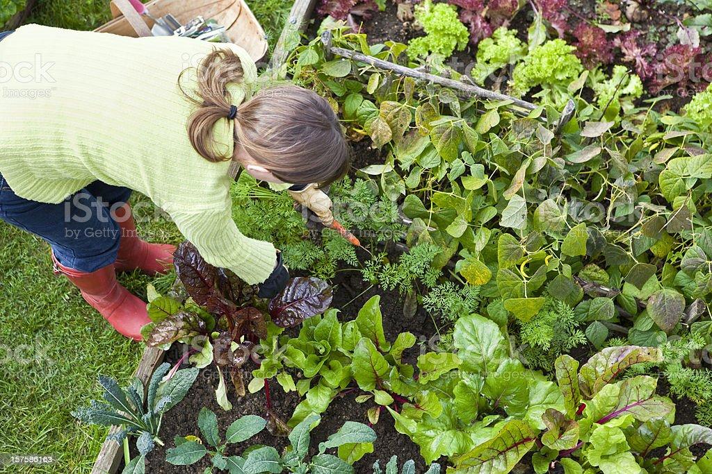 Pulling Carrots in Vegetable Garden stock photo