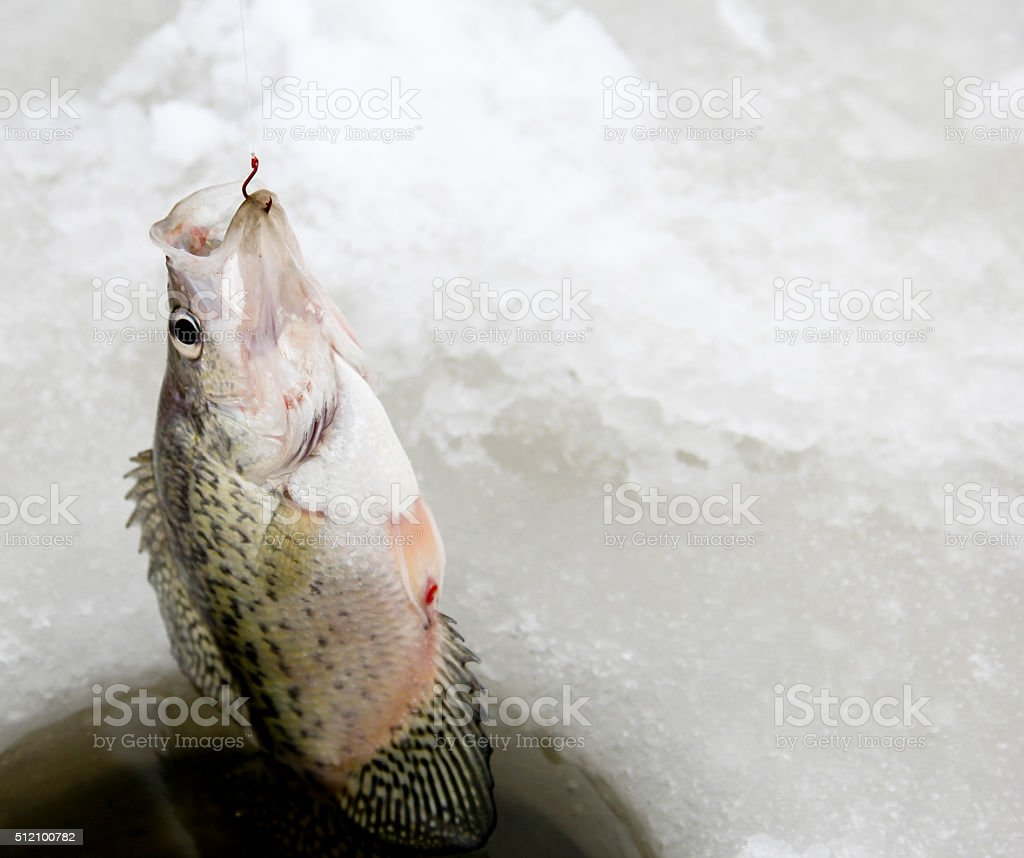Pulling out a Crappie while ice fishing stock photo
