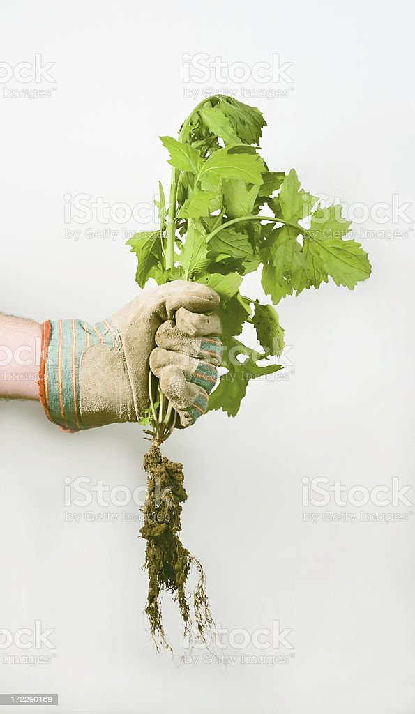 pulling weeds royalty-free stock photo