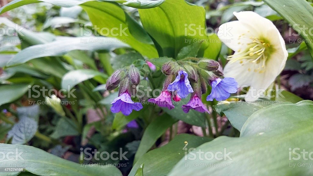 Pulmonaria officinalis helleborus niger and ramsons stock photo