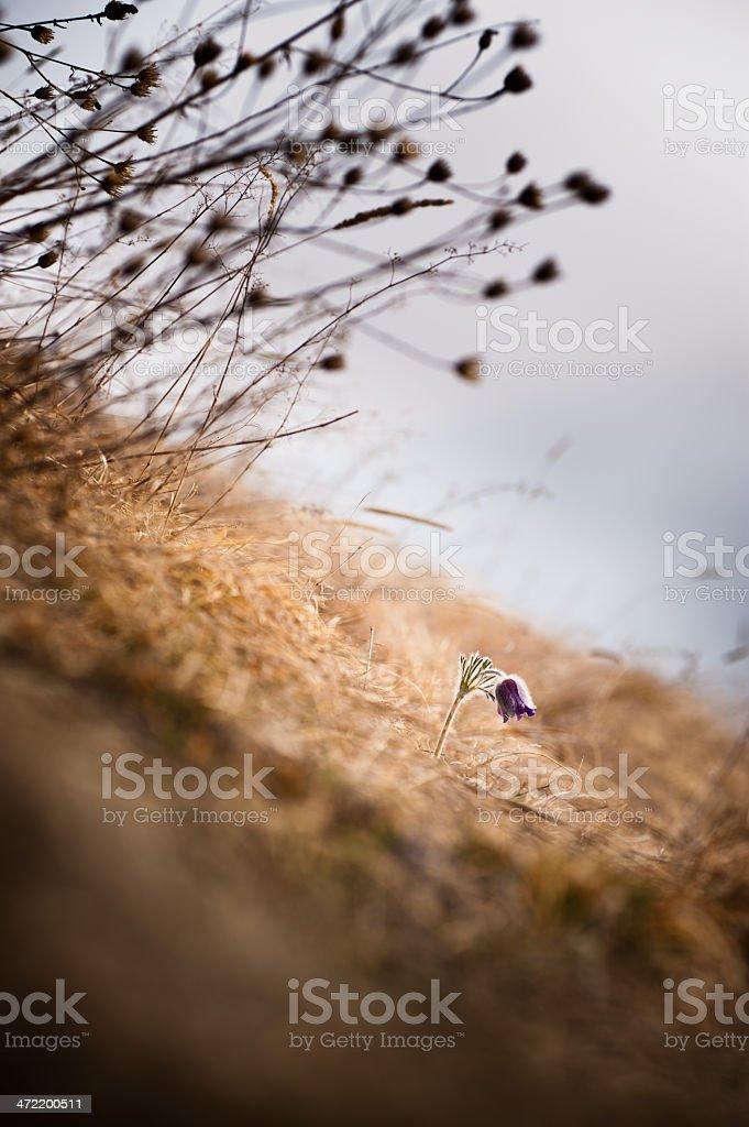 Pulsatilla alpina royalty-free stock photo